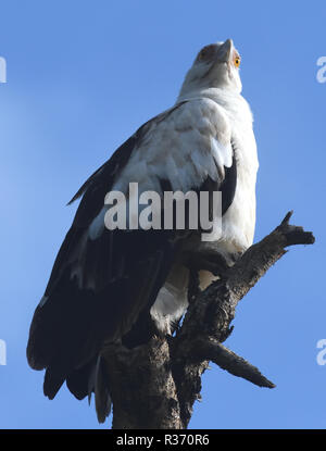 Palm-nut vulture or vulturine fish eagle  (Gypohierax angolensis). Queen Elizabeth National Park, Uganda. - Stock Image
