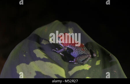 Blue-jeans Frog or Strawberry Poison-dart frog Costa Rica - Stock Image
