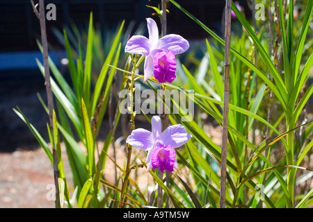 Bamboo Orchid - Stock Image