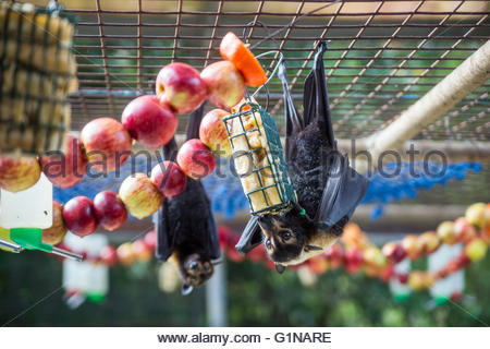 flying foxes (fruit bats) rehabilitation center in Kuranda - Queensland (Australia) - Stock Image