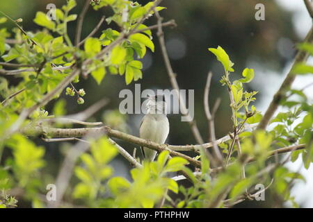Male blackcap sitting on a branch, singing. Sylvia atricapilla - Stock Image