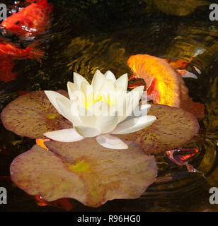 BT9T7B Golfish swimming under water lily - Stock Image