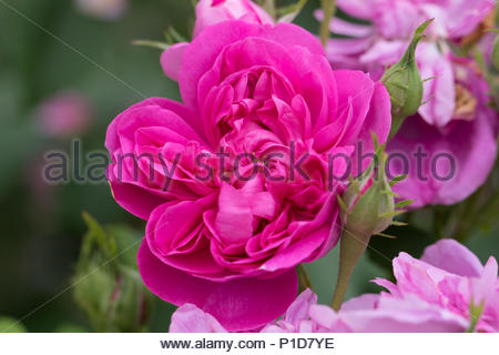 A very fragrant pink Damask rose 'Amanda Patenotte' - Stock Image