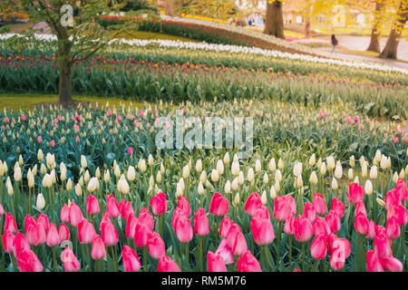 Tulips and flowers in Holland, Netherlands - Stock Image