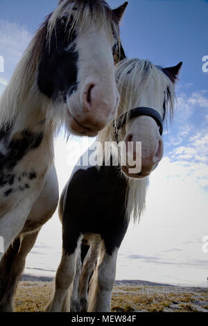 Wide angle close up photograph of two Tinker horses on a frosty pasture under a cloudy sky in Anundsjoe, Sweden. - Stock Image