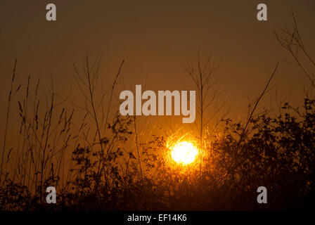 Setting sun silhouettes branches and brambles - Stock Image