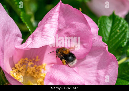 Bumblebee in flight towards the pollen centre of a dog rose flower (rosa canina) - Stock Image