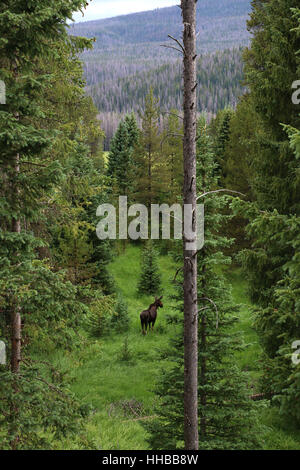 Female moose in forest Colorado - Stock Image
