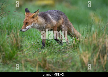 A Fox (Vulpes vulpes) searching food in the evening rain. - Stock Image