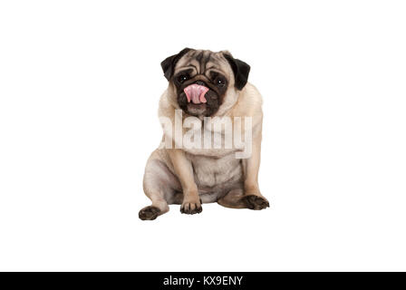 cute pug puppy dog sitting down licking nose, isolated on white background - Stock Image