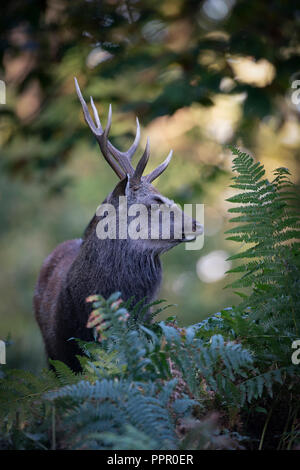 Sika deer,  Cervus nippon, stag, feeding  on wooded parkland in Kent on an autumn morning - Stock Image