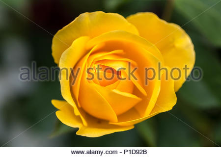 The epomymous 'Graham Thomas' bright yellow tea rose named after the well known English botanist. - Stock Image