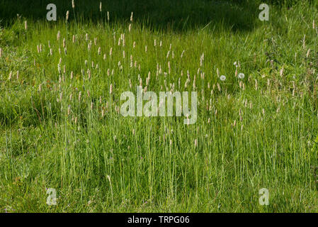 Flowering spikes of meadow foxtail, Alopecurus pratensis, in a group in grassland, Berkshire, May - Stock Image