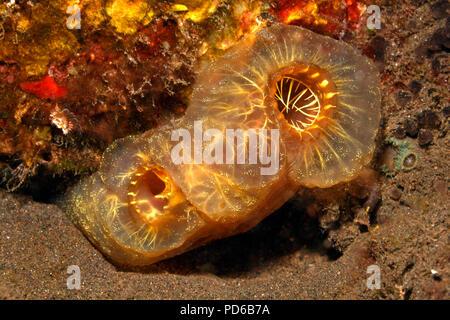 Yellow Sea Squirt, Phallusia julinea. Tulamben, Bali, Indonesia. Bali Sea, Indian Ocean - Stock Image