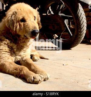 Old dog and motorbike wheel - Stock Image