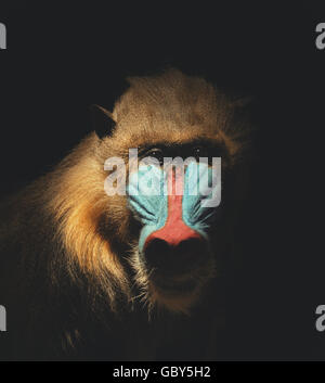 A wild mandrill mammal is isolated on a black background for a endangered or species concept about animals. - Stock Image