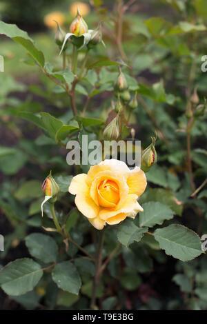 Honey Perfume hybrid tea rose at the Owen Rose Garden in Eugene, Oregon, USA. - Stock Image