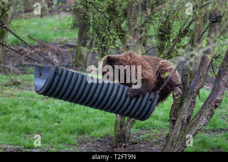 Dunstable, Beds, UK. 2nd April, 2019. A sequence of photos of Sleeping Beauty, one of three European Brown Bear sisters, relaxing in her custom made bear hammock at ZSL Whipsnade Zoo. Credit: amanda rose/Alamy Live News - Stock Image