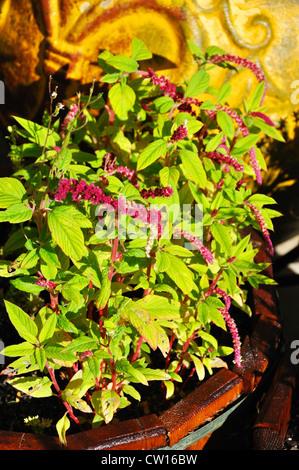 Potted amaranth plant - Stock Image