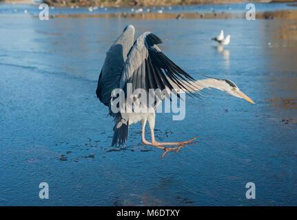 Grey Heron,(Ardea cinerea), in flight landing on a frozen lake, Regents Park, London, United Kingdom - Stock Image