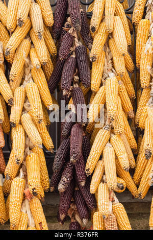 Maize corn cobs hung to dry from a village house balcony. The house owner will be using them to feed cattle/pigs in the winter. - Stock Image