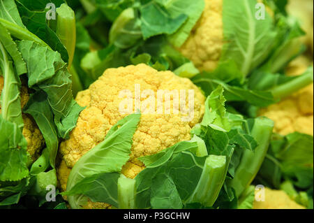 Isolated yellow cauliflower, colorful variety which interests the gastronomy industry as being a novelty in the gourmet food preparations - Stock Image