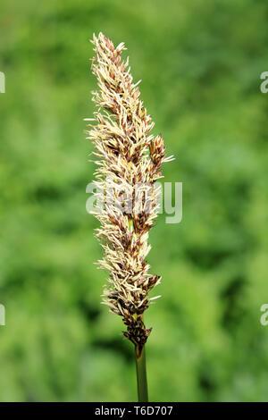 Lesser Pond-sedge  - Carex acutiformis - Stock Image