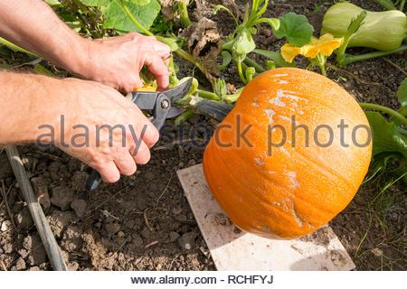 Gardener cutting the stem of a ripe pumpkin - variety is jack-o-lantern - Stock Image