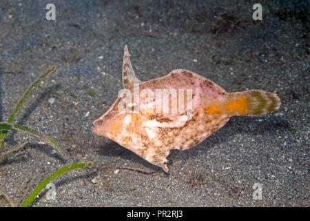 Bristle-Tail Filefish, Acreichthys tomentosus. Also known as Seagrass Filefish. Pemuteran, Bali, Indonesia. Bali Sea, Indian Ocean - Stock Image