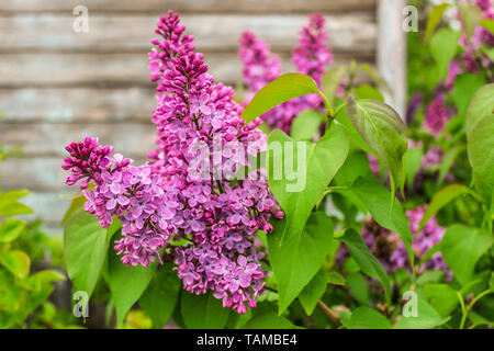 Blooming lilac on the background of a wooden wall of an old house - Stock Image