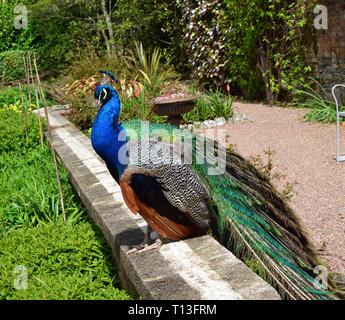 Peacock in Victorian Gardens in Devon, UK - Stock Image