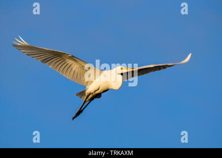 Great egret in flight at dawn. - Stock Image