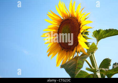sunflower with beautiful blue sky - Stock Image