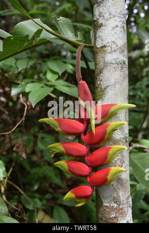 Heliconia plants in a tropical forest in the Chanchamayo region of Peru - Stock Image