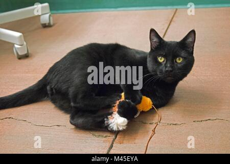 A black cat plays with a toy at the Yolo County Animal Shelter. - Stock Image