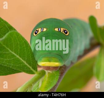 Tiger swallowtail (Papilio rutulus) caterpillar with false eye spots - Stock Image