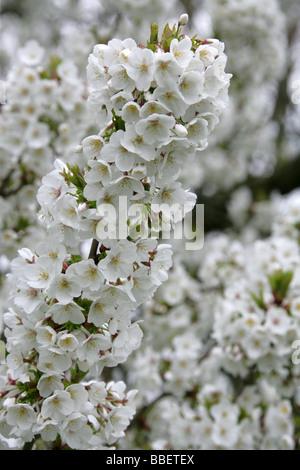 Flowering Fuji Cherry, Prunus 'Umineko', Rosaceae. A Fuji Cherry cultivar, Prunus incisa x Prunus speciosa. - Stock Image