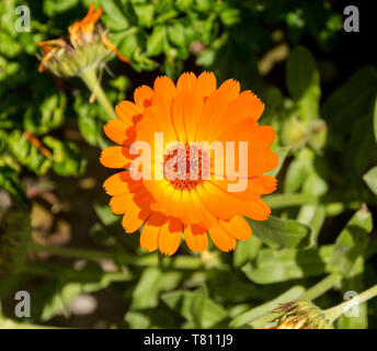 A close up of a beautiful English Marigold (Calendula Officinalis -an herbaceous perennial plant of the Calendula genus of family Asteraceae family) - Stock Image