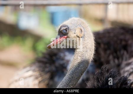 Horizontal emu portrait - Stock Image
