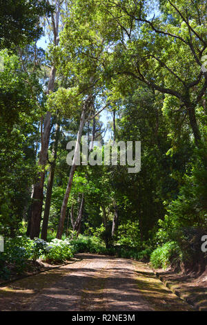 Rural track through forest, Santo da Serra, Madeira, Portugal - Stock Image