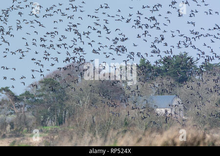 Sky full of Brent Geese over the Wexford countryside in Ireland - Stock Image