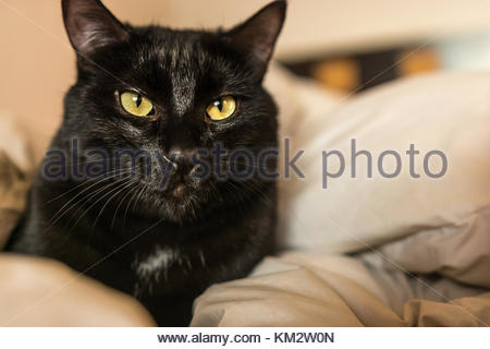 Black color young male common cat starring directly at us from the couch he is resting on. - Stock Image