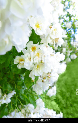 Lots of flower heads of a white rambler rose on a sunny summer day, text or copy space, green background - Stock Image