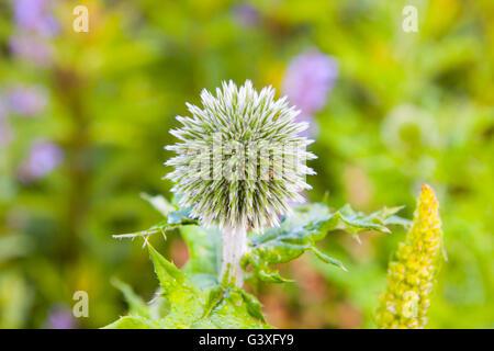 globe thistle green - Stock Image