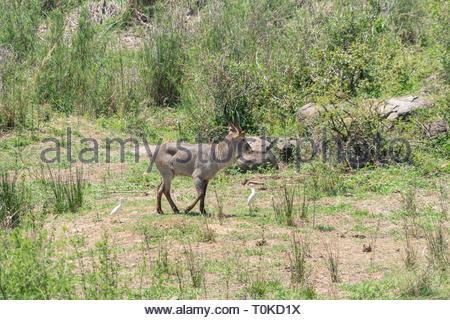 Waterbuck (Kobus ellipsiprymnus), taken in South Africa - Stock Image