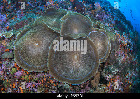 Elephant ear anemone (Amplexidiscus fenestrafer) fully opened on wall reef. Raja Ampat, Indonesia. - Stock Image