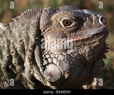 USA. Stock photo of a green iguana. - Stock Image