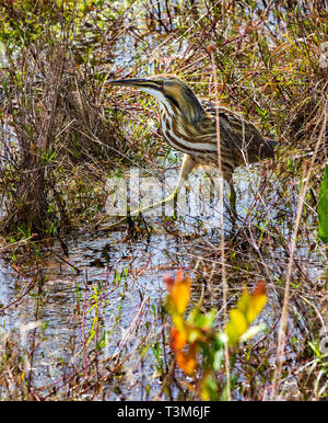 An American bittern wading and feeding in the Okefenokee swamp. Vertical image. - Stock Image