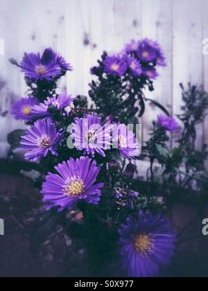 Purple aster flowers - Stock Image