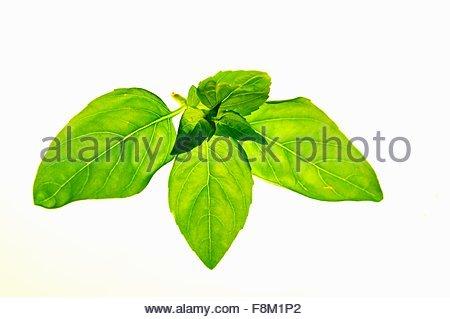 Fresh basil - Stock Image